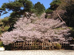 http://www.kanagawa-park.or.jp/onsisite/seasons/flower-spring-mamezakura.jpg